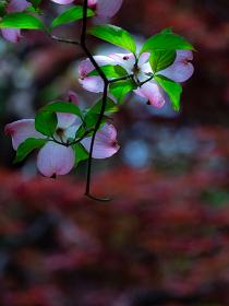 ハナミズキ 5月 日本