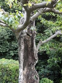 幹が空洞の古い樹木