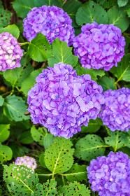 複数の紫陽花の花(アジサイ・満開・植物・季節)