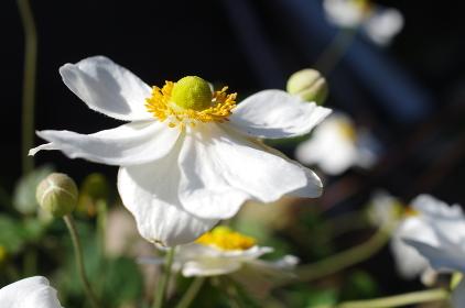 白い花の秋明菊