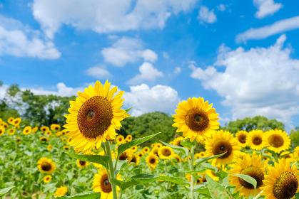 青空とひまわり畑と白い雲 夏イメージ 奈良県営馬見丘陵公園