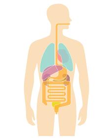 人体の内臓図-胃、腸、肺、肝臓、膵臓、心臓など