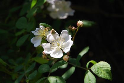道端の花「ノイバラ」