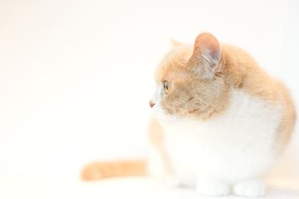 猫 / マンチカン / 白背景