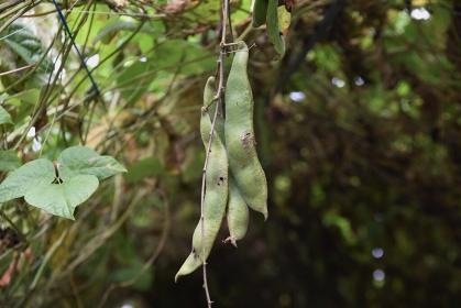 ベニバナインゲン栽培