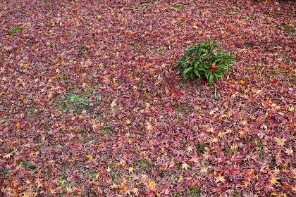 地面を覆うモミジの落ち葉