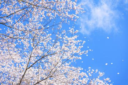 青空と桜の木の春の背景素材