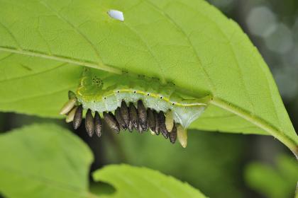 蜂に寄生された蛾の幼虫
