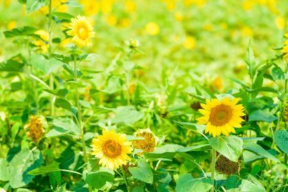 夏の綺麗な向日葵畑