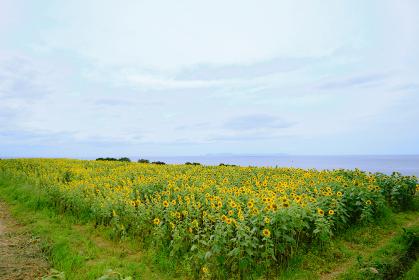 長島に花開くひまわり畑