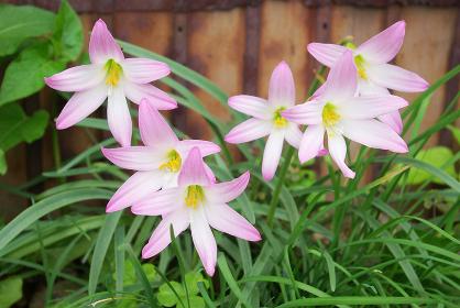 野生化して複数花を咲かせるサフランモドキ
