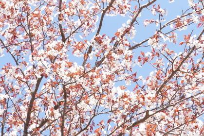 紅葉李(ベニバスモモ)の枝ぶりと青空