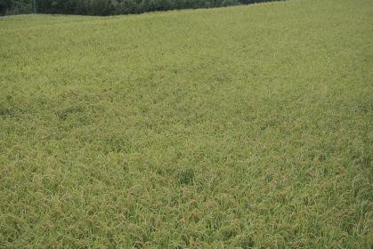 水田に育つ稲の群集