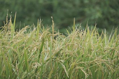すくすく成長した沢山の稲