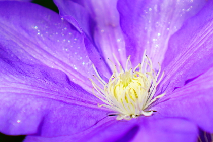 紫色のテッセン クレマチス
