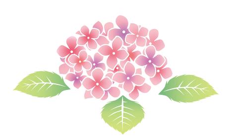 自然 植物 梅雨のイメージ紫陽花あじさい ピンク ベクターデータ