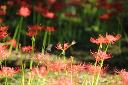 彼岸花の蜜を吸うアゲハ蝶
