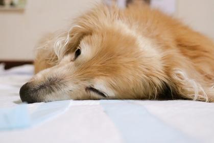 眠る18歳のミニチュアダックスフント