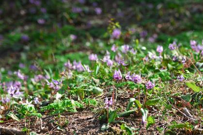 美しく咲き誇るカタクリの花の群生