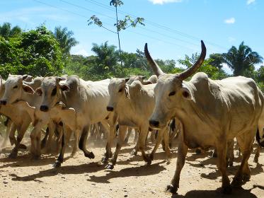 ボリビアにて大きな家畜動物の白いウシが整列して歩く様子