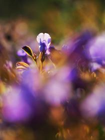 青紫色の花トレニア