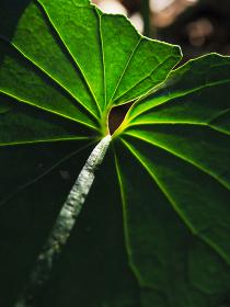 植物タロイモの葉