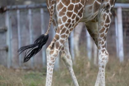 キリンの足とシッポ アミメキリン