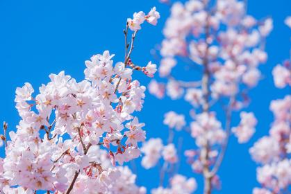満開の桜 ソメイヨシノ