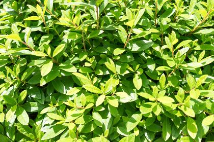 新緑の若葉(背景・素材・オメージ)