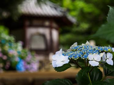矢田寺 (奈良県大和郡山市 2015/06/11撮影)
