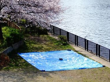 花見の場所取りブルーシート