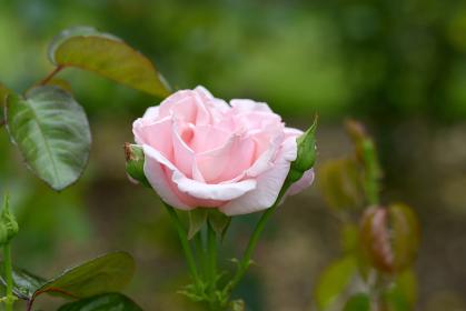 プロミス ピンクのバラの花