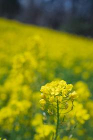 長野県阿南町 菜の花畑