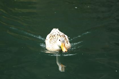 手前に泳いでくる鴨