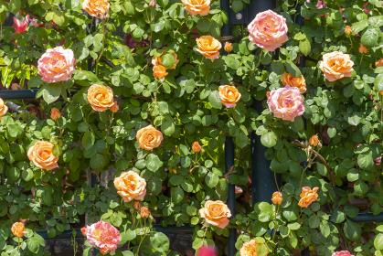 色鮮やかなバラの花