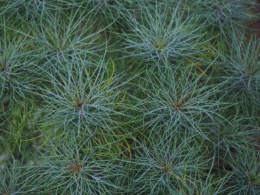 針のような葉の植物