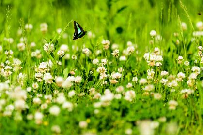 シロツメクサの花を飛び回る水色アゲハ蝶