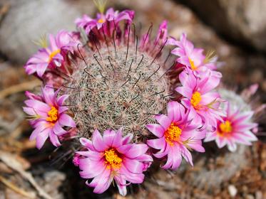 アメリカ・アリゾナ州のサワロ国立公園にてピンクの花が咲いた丸いタマサボテン
