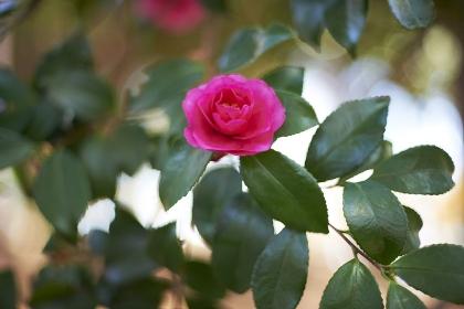 明るい陽光の中ピンクのサザンカが一輪咲いた