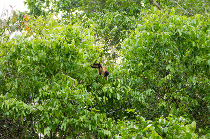 Tufted capuchin monkey on the nature in Pantanal, Brazil