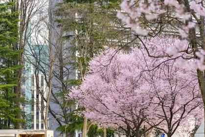 杜の都の桜