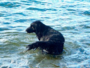 海の中に入って遊ぶ黒い大きな野良犬