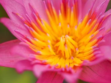 鮮やかなピンク色の水生植物スイレン