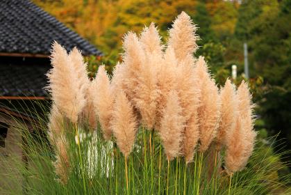 秋の風景とパンパスグラス
