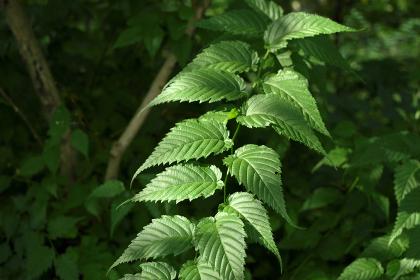 8月の玉川上水緑道の葉っぱ