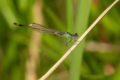 枯草にとまる糸トンボ
