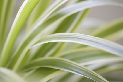 観葉植物のオリヅルラン