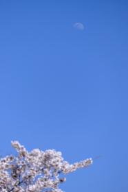 昼間の桜と青い空に浮かぶ月