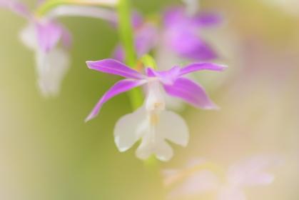 エビネの花