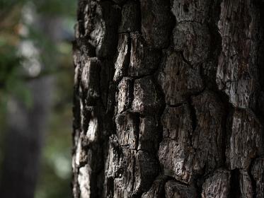 松の老木の幹